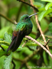 Bronze-tailed Plumeleteer | by Michael Woodruff