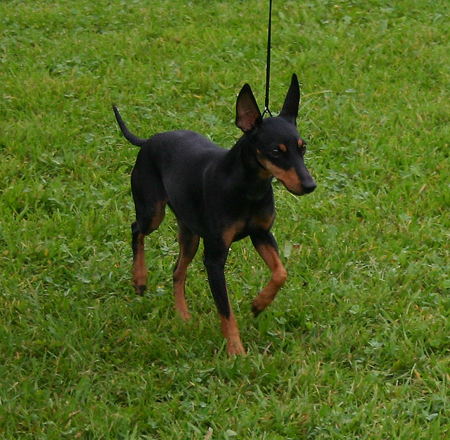 manchester toy terrier - photo #46