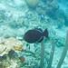 black durgon Melichthys niger