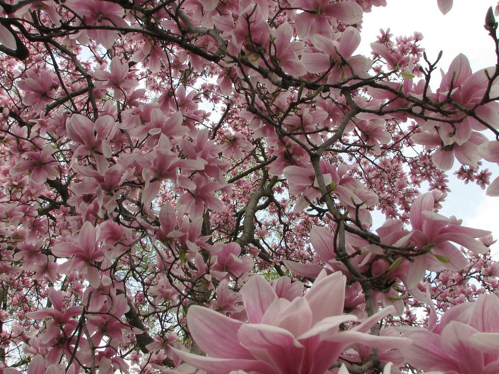 Pink Flower Tree Pink Flower Tree Pink Flower Tree nlfrazee