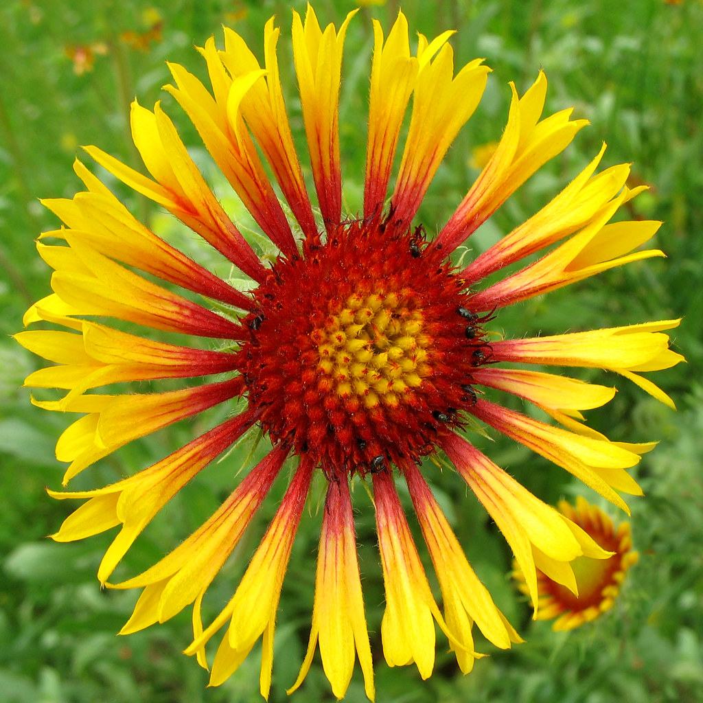 Sunwheel Blanket flower Gaillardia aristata View O…