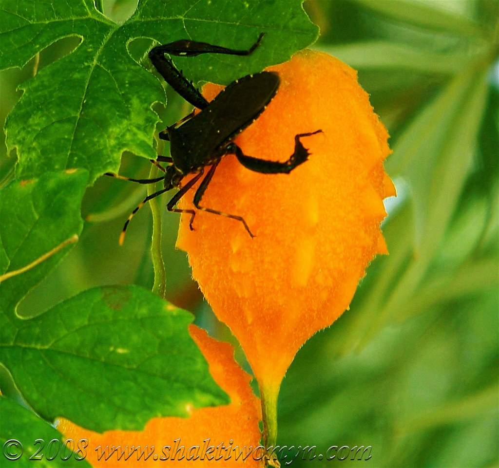 Halloween Buggy? - florida leaf footed bug | Monthly ...