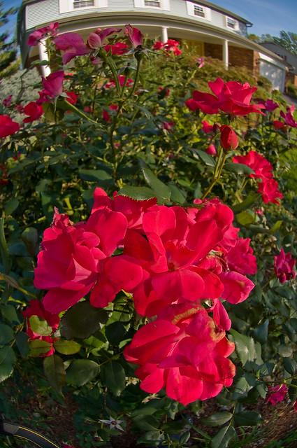 Roses In Shade Flickr Photo Sharing
