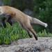 Red Fox Pup(s) Morro Bay, CA 28 May 2008