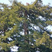 Turkey Vulture in Topped Tree