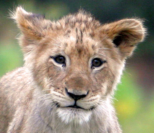 how to draw a lion cub face