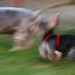 blurred poetry in motion - the Running of the Doggies