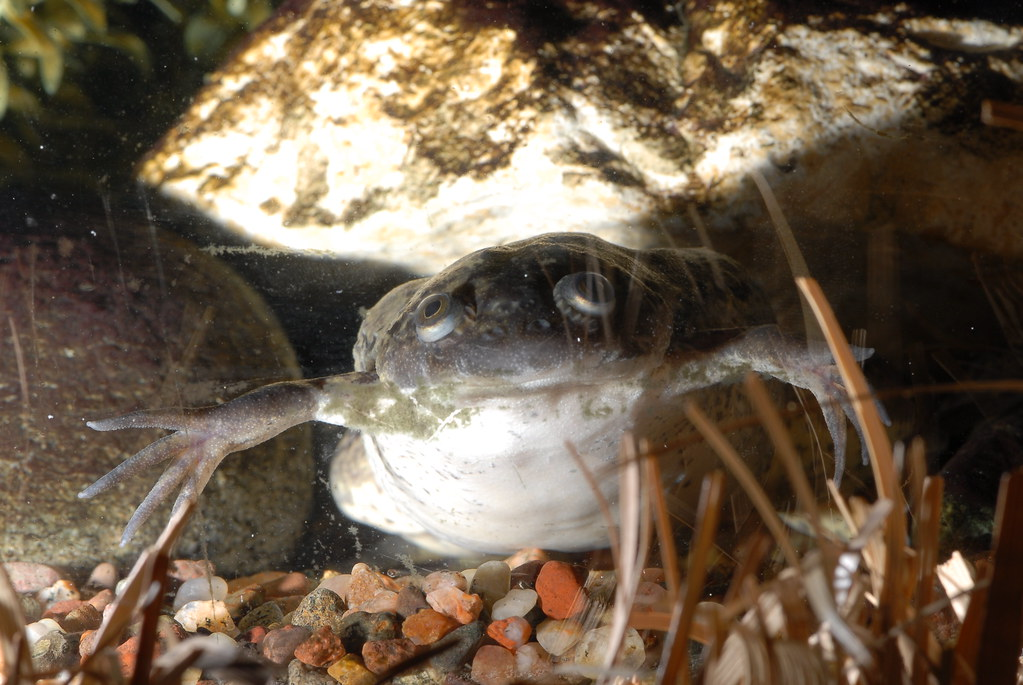 Can African Clawed Frogs At Wafer Bottom Tank Food