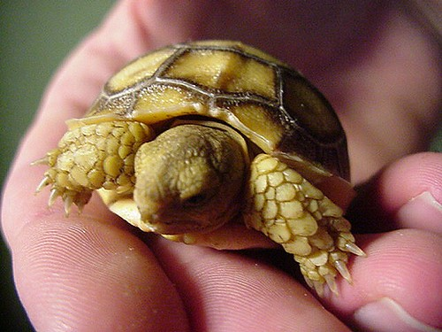 Paul's Geochelone Sulcata tortoise hatchling—close up view | by EraPhernalia Vintage . . . [''playin' hook-y''] ;o