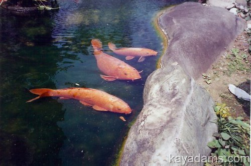 Gimme something to eat the koi fish pond at the otani for What do koi fish eat