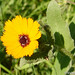 Calêndula // Field Marigold (Calendula arvensis)
