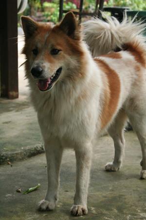 Thai Bangkaew Dog For Sale
