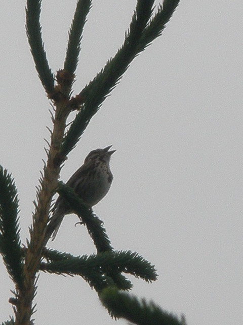 Singing Female Rose-Breasted Grosbeak