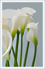 Calla | by Rainer Fritz