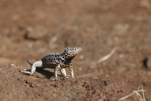 Lava Lizard | by stirwise