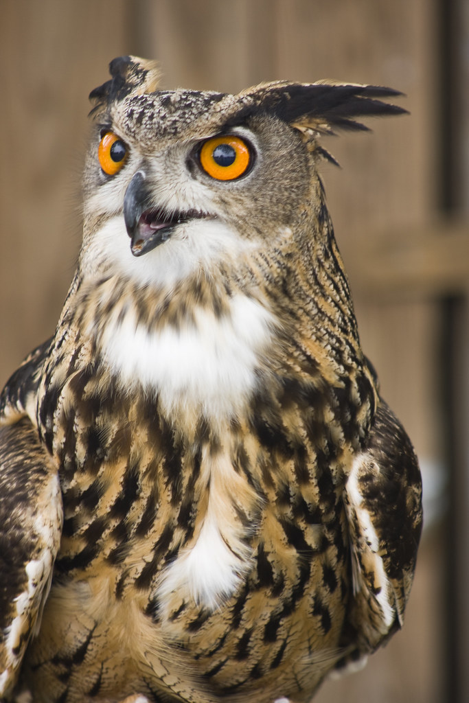 San Antonio This Is A Eurasian Hawk Owl Almost The