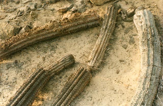 Cactus Seco Norte De Chile Camara Analoga Procesado Digi Flickr - Cactus-seco