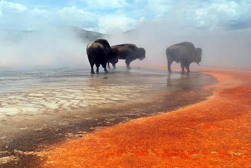 Bison walking over Grand Prismatic Spring in Yellowstone National Park Wyoming | by Jonohey