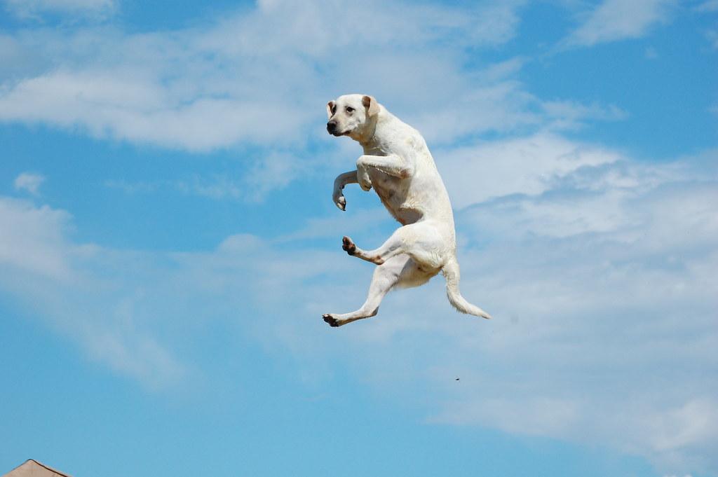 Highest Jumping Big Cat