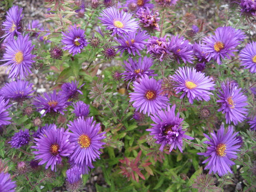 New England Aster | by giveawayboy