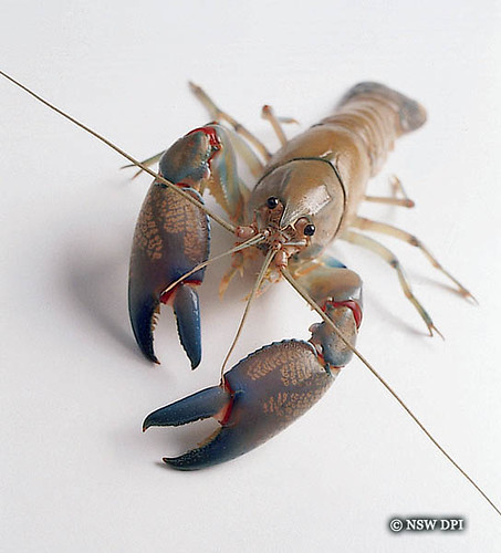 Yabby There Are Over 100 Species Of Freshwater Crayfish