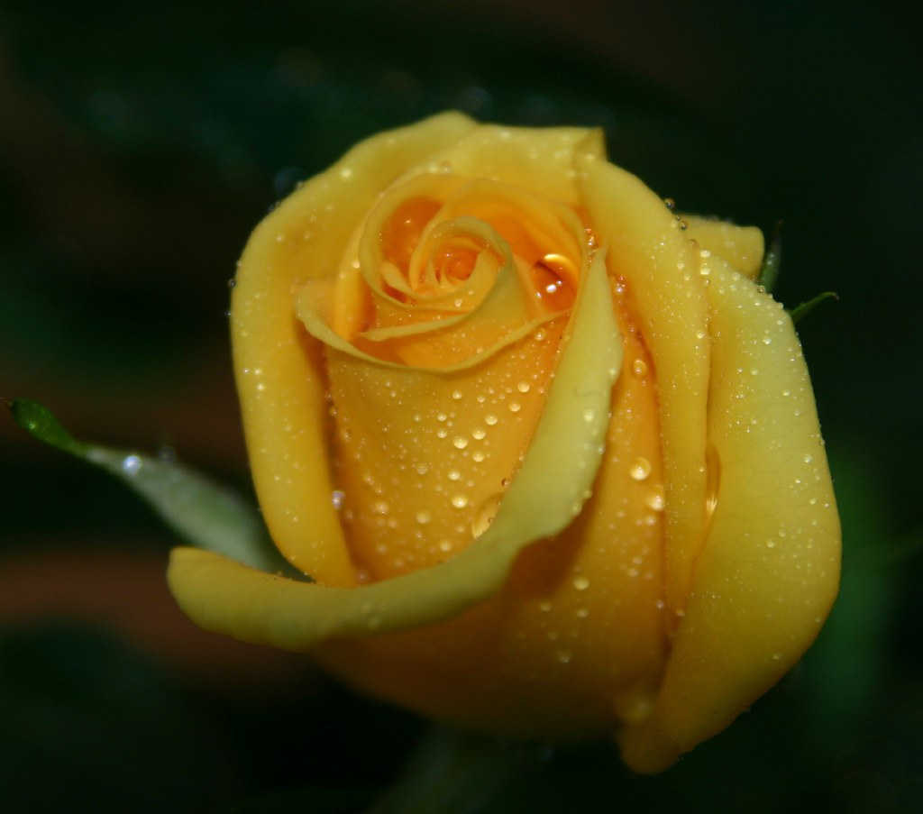 Mini Yellow Roses Miniature Yellow Rose | by