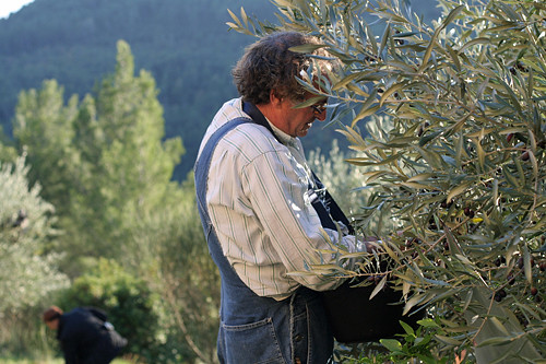 mort picking olives | by David Lebovitz