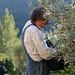 mort picking olives