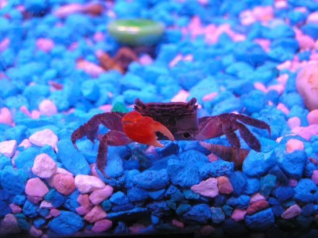 Aquarium Crabs