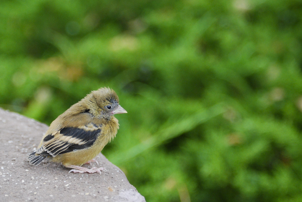 American goldfinch baby - photo#16