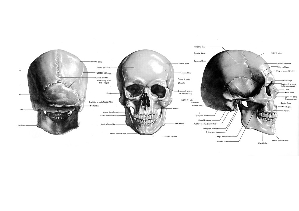 Skull Reference   Front, Side and Back views of Human Male ...