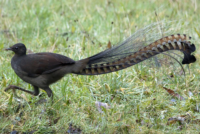 lyre bird from wikipedia a lyrebird is either of two spec flickr