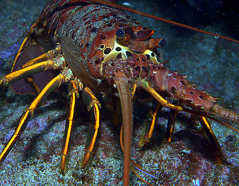 California Spiny Lobster | Bug hunting with my camera | Flickr
