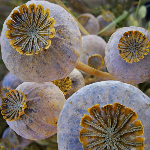 Poppy seed pods | by Dragan*
