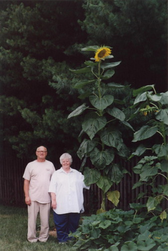 12 Feet Tall Russian Giant Sunflower Picture Of My Wife