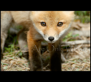 Baby Fox | by these are only words
