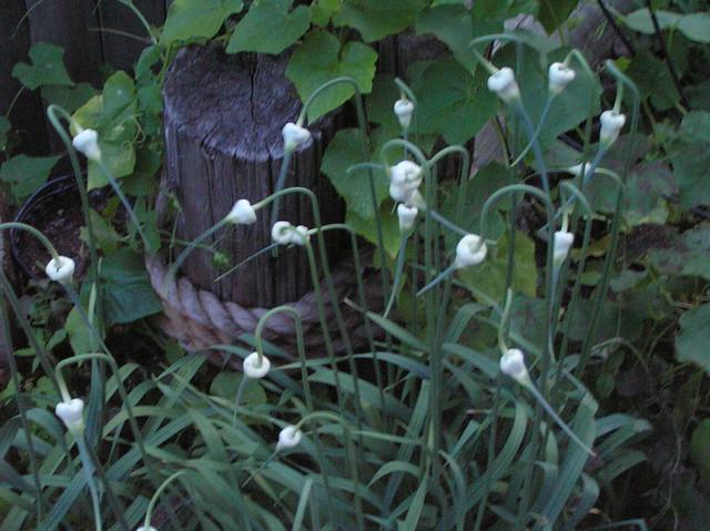 My Garlic Plantation Flickr Photo Sharing