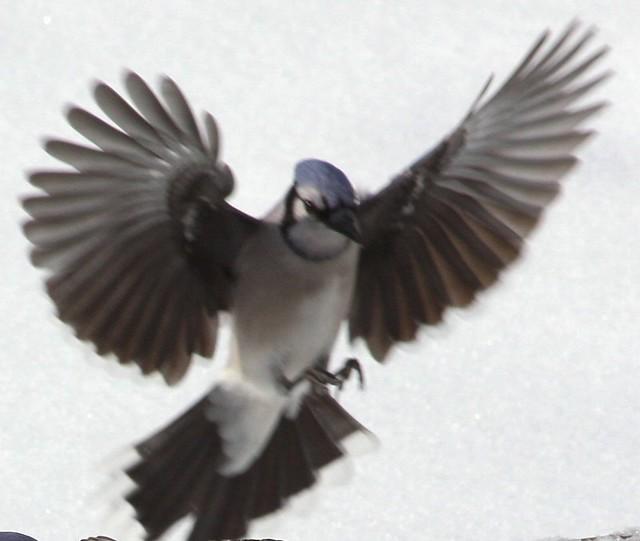 blue jay landing blue jay spreading wings for landing