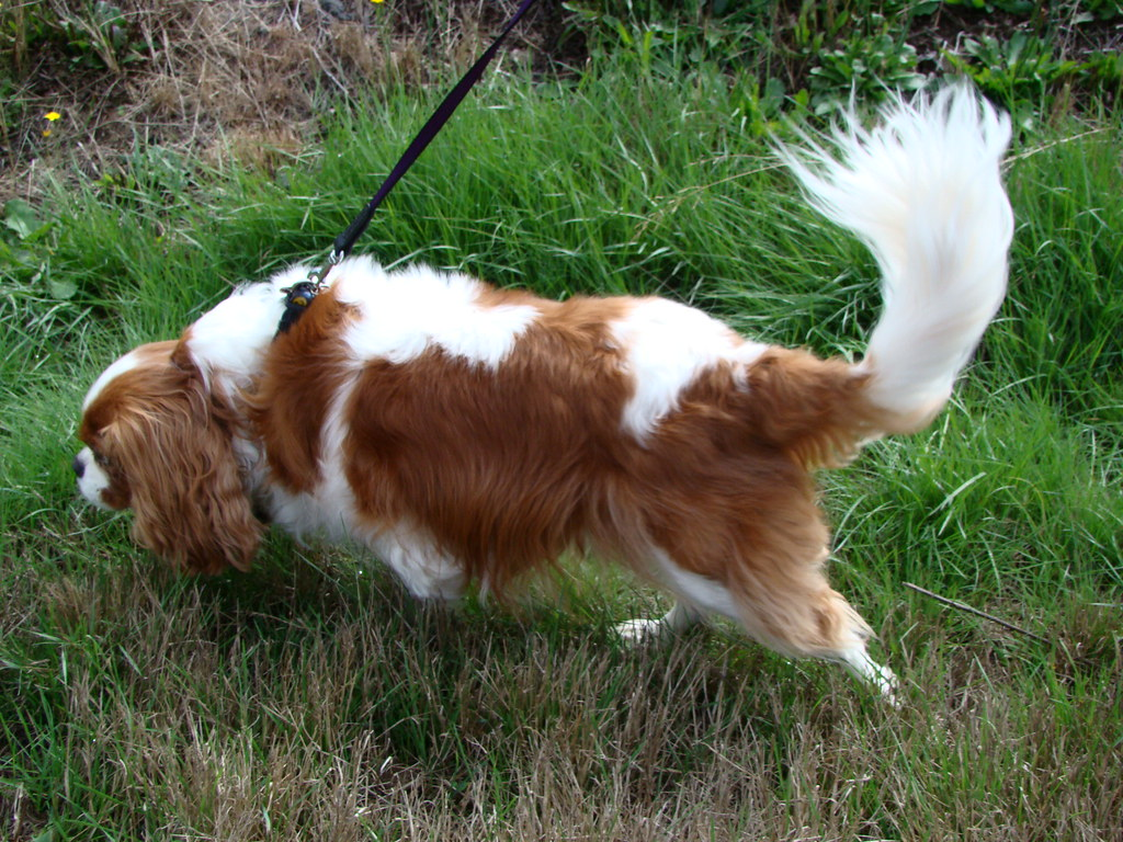 Cavalier King Charles Spaniel Dogs For Sale West Midlands