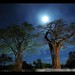 Baobabs at Night