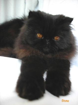 Gato Persa negro | aya...