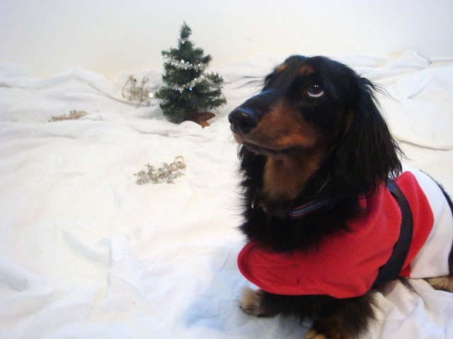 Wiener Dog Christmas Pictures