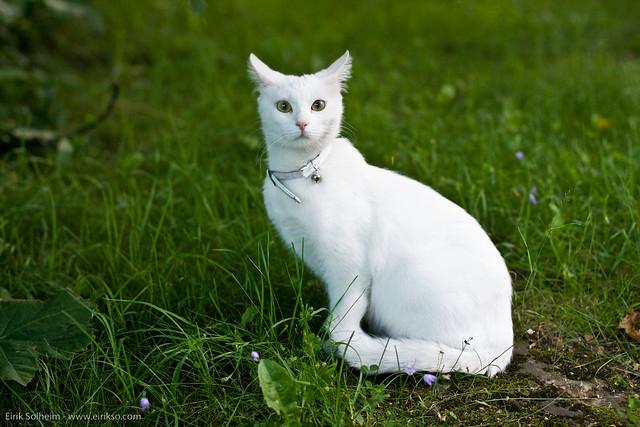 Green White Cats Standard