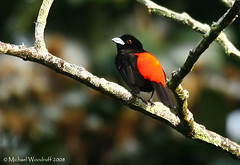 Passerini's Tanager | by Michael Woodruff