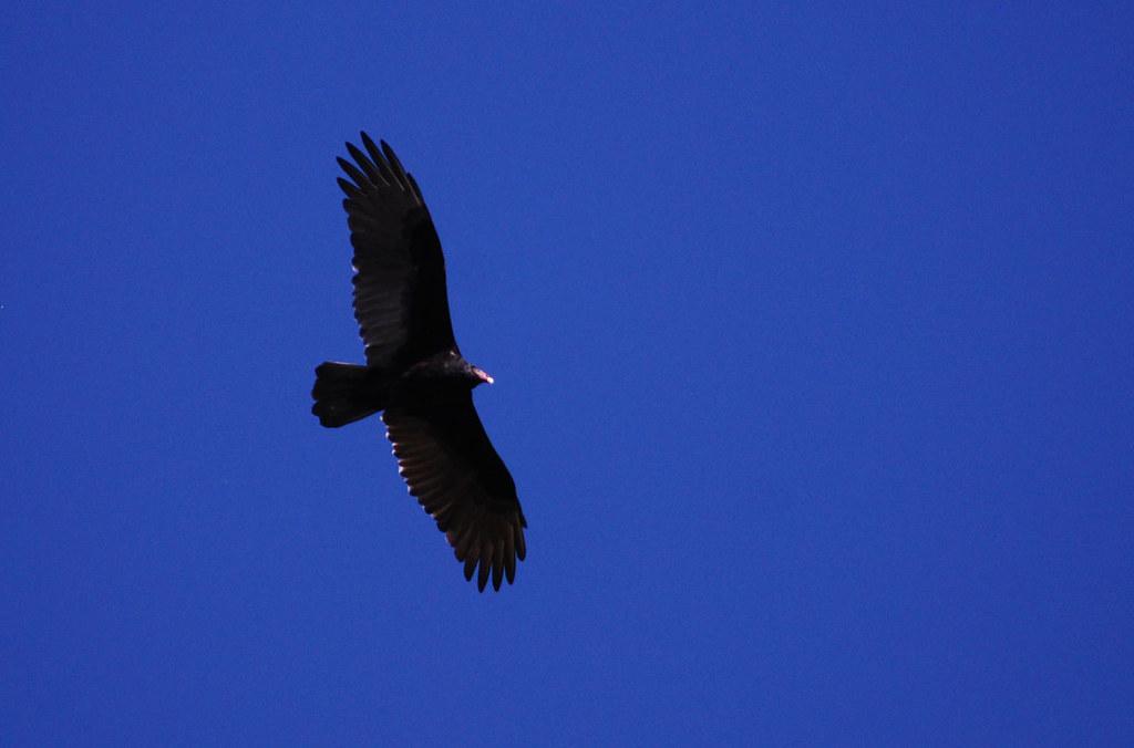 Turkey Vulture Ohio Natural History Musem