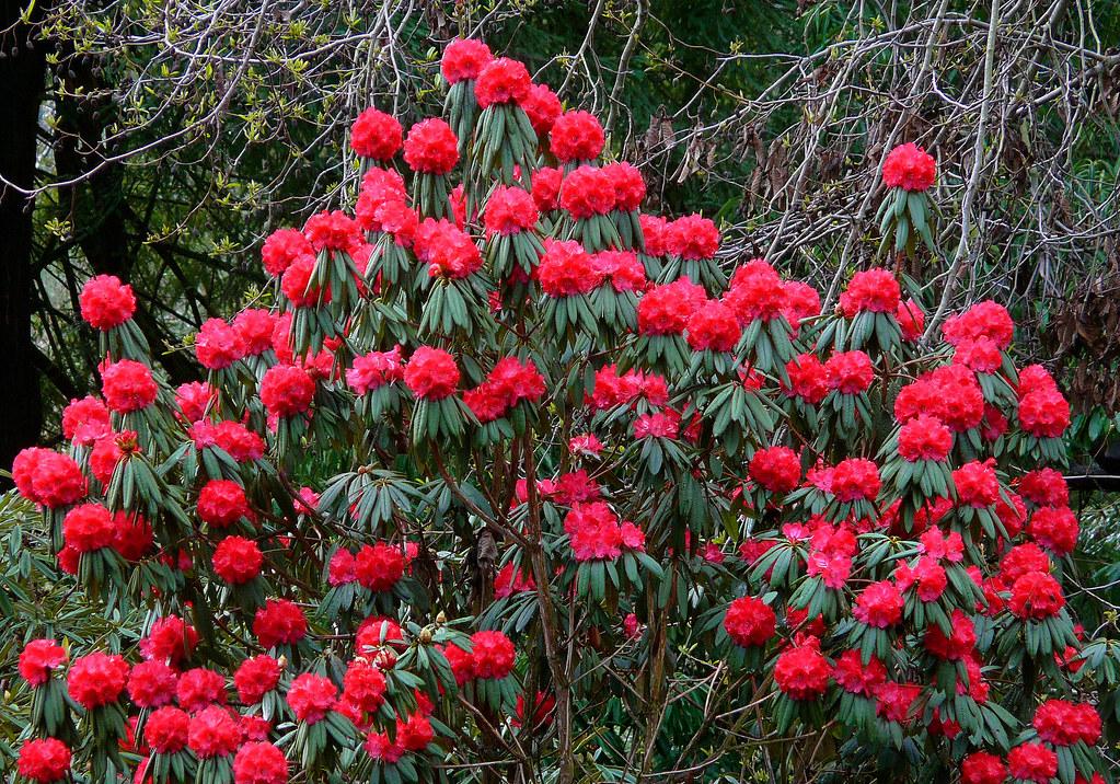 Rhododendron Arboreum Ssp Delavayi 2 Ericaceae