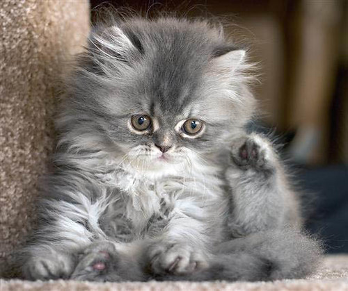 Funny Grey Tabby Kitte...
