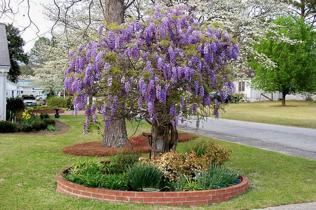 Wisteria wisteria blooming in a residential neighborhood for Adornos para pared de jardin