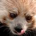 Licking Red Panda Don Johnson