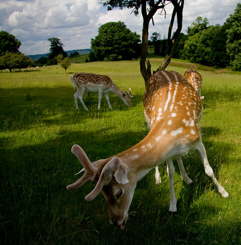 Knole Deer Park | by Simon Greig Photo